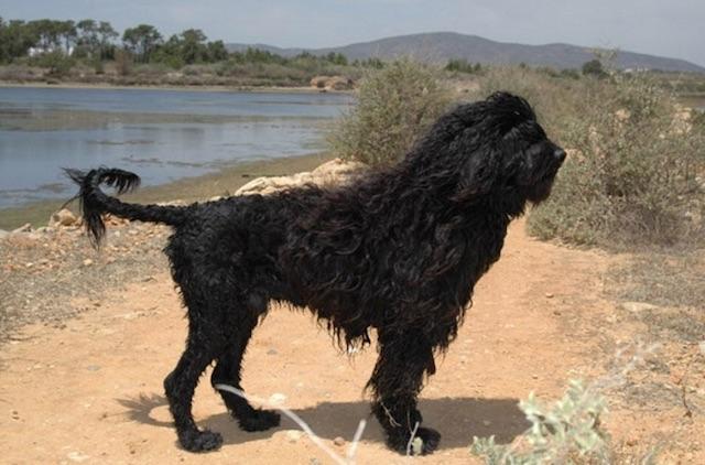 cane algarve