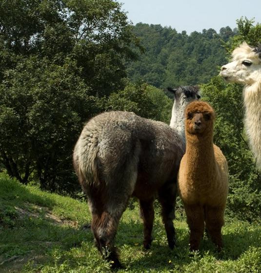 agriturismo alpaca