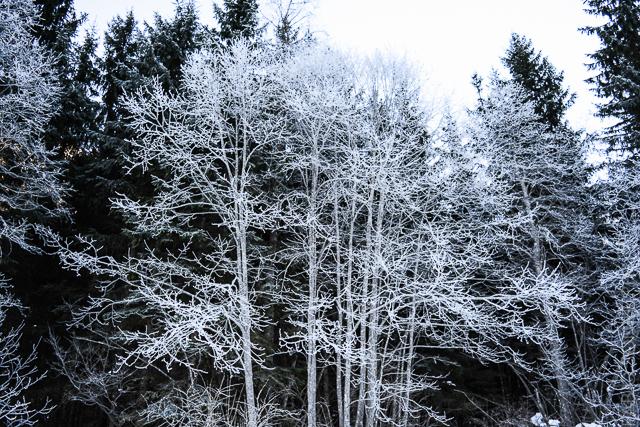 albero ghiacciato