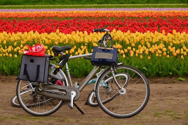 campi tulipani