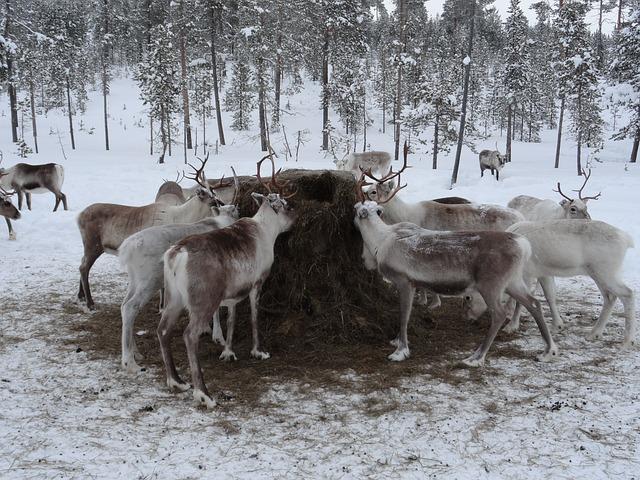lapponia fattoria renne