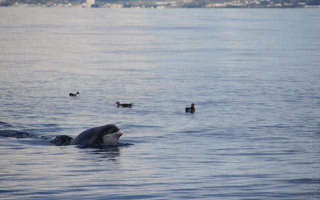 delfini azzorre