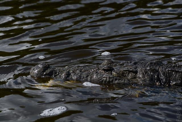 coccodrillo Messico