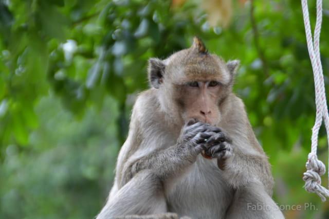 scimmie Cambogia