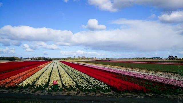 campi di fiori e tulipani