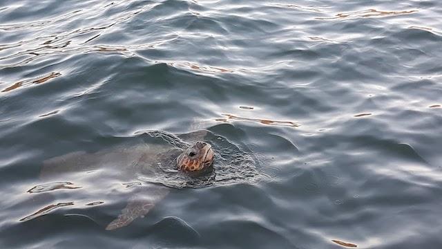 tartaruga Cefalonia