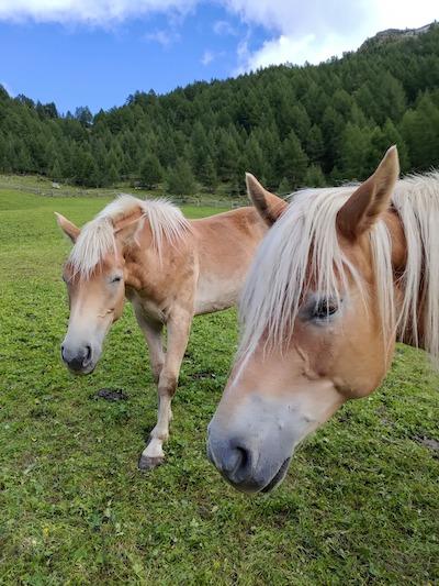 cavalli Val Pusteria