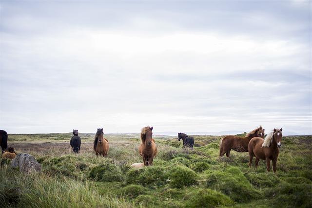 cavalli Islanda con bambini