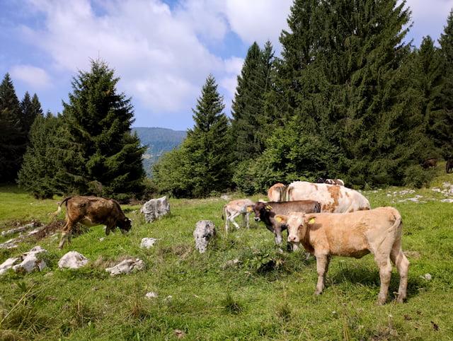 mucche sull'Altopiano Asiago