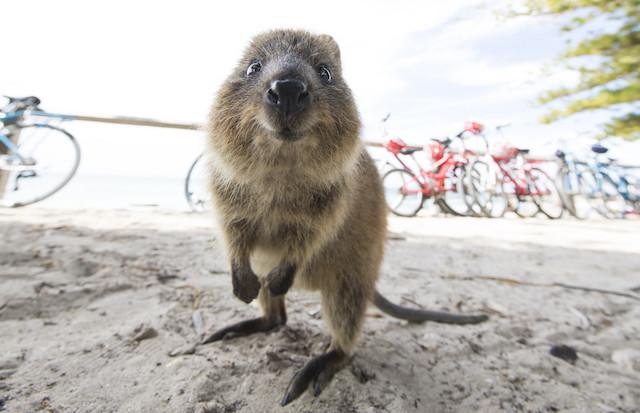 Quokka a Rottnest Island in Australia